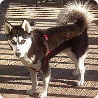 Adopt A Pet :: Thor - Staunton, VA