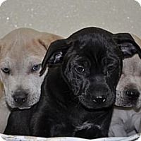 Adopt A Pet :: Pit Bull Mix pups- male - Port Washington, NY