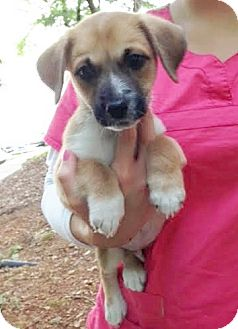 Beagle/Labrador Retriever Mix Puppy for adoption in Snohomish, Washington - Miggy, Mini Lab Mighty Pup!