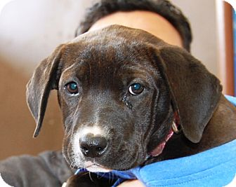 Labrador Retriever Mix Puppy for adoption in West Los Angeles, California - Civic