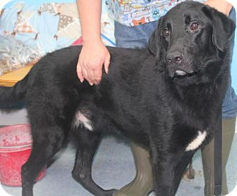 Labrador Retriever/Retriever (Unknown Type) Mix Dog for adoption in Chicago, Illinois - Riot*ADOPTED!*