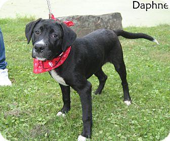 Labrador Retriever Mix Puppy for adoption in Middletown, New York - Daphne