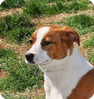 Beagle Mix Dog for adoption in Greenville, Kentucky - Sam