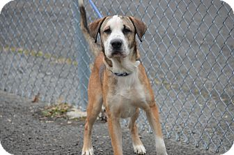 Hound (Unknown Type)/Shar Pei Mix Dog for adoption in Morgantown, West Virginia - Hollow