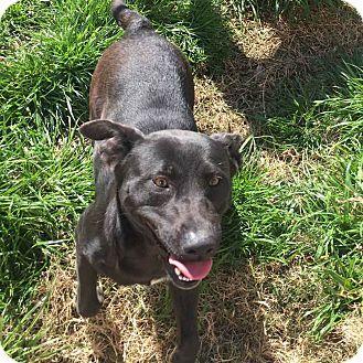 Labrador Retriever Mix Dog for adoption in Minneapolis, Minnesota - Harley