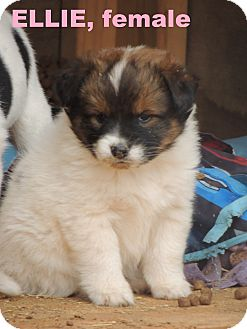 St. Bernard/Border Collie Mix Puppy for adoption in Denver City, Texas - Ellie