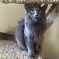 Domestic Mediumhair Cat for adoption in Scottsdale, Arizona - Marie