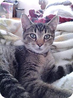Domestic Shorthair Cat for adoption in Columbus, Ohio - Boston