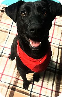 Labrador Retriever Mix Dog for adoption in Sagaponack, New York - Blake