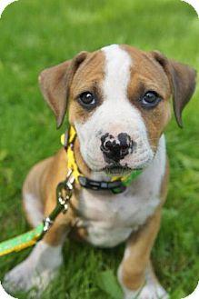 Pit Bull Terrier Puppy for adoption in Framingham, Massachusetts - Caitlyn