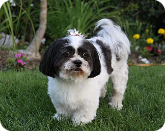 Shih Tzu Mix Dog for adoption in Newport Beach, California - MARLENE