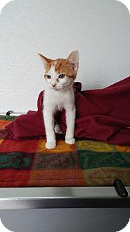 Domestic Shorthair Kitten for adoption in China, Michigan - Ginger