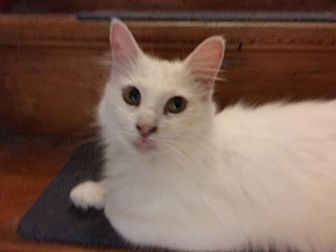 Domestic Mediumhair Cat for adoption in Delmont, Pennsylvania - Leah