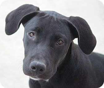 Pit Bull Terrier/Labrador Retriever Mix Puppy for adoption in Cranston, Rhode Island - Jocelyn - ADOPTED!