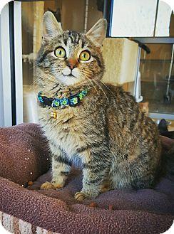 Domestic Shorthair Kitten for adoption in Fredericksburg, Texas - Connie