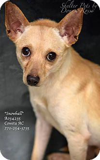 Chihuahua Mix Dog for adoption in Newnan City, Georgia - Snowball