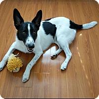 Adopt A Pet :: JAKE- 1YR BORDER COLLIE - Mesa, AZ