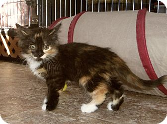 Maine Coon Kitten for adoption in Medford, Wisconsin - KAYLEE