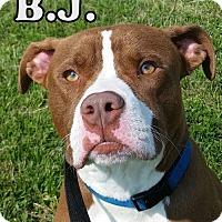 Adopt A Pet :: BJ - Tremont, IL