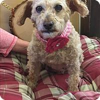 Adopt A Pet :: Curly Sue - Brea, CA