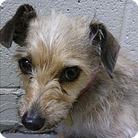 Schnauzer (Miniature)/Terrier (Unknown Type, Small) Mix Dog for adoption in Mechanicsburg, Pennsylvania - Sissy