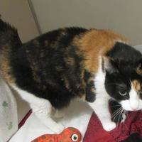 Domestic Shorthair/Domestic Shorthair Mix Cat for adoption in Ridgely, Maryland - Min Min