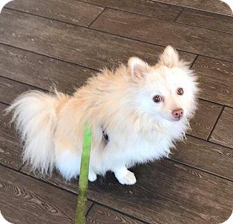 Pomeranian Dog for adoption in Rancho Santa Fe, California - Romeo