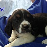 Adopt A Pet :: Ace - Plainfield, IL