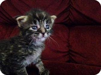 Domestic Shorthair Kitten for adoption in Sylvan Lake, Michigan - Toot