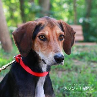 Hound (Unknown Type) Mix Dog for adoption in Edwardsville, Illinois - Devo