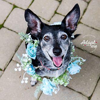 Chihuahua Mix Dog for adoption in Cincinnati, Ohio - Betsey