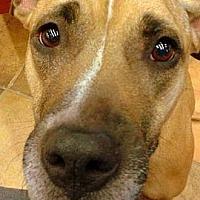 American Pit Bull Terrier Mix Dog for adoption in Phoenix, Arizona - Lexi