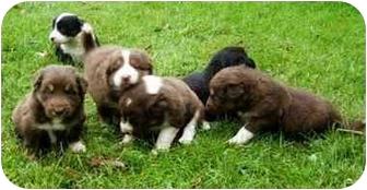 Border Collie Puppy for adoption in Bellevue, Nebraska - Puppies