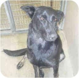 German Shepherd Dog Dog for adoption in San Clemente, California - NATASHA
