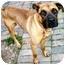 Photo 3 - Boxer/Shepherd (Unknown Type) Mix Dog for adoption in Latrobe, Pennsylvania - Norman