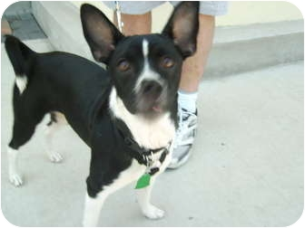 Boston Terrier Mix Dog for adoption in Umatilla, Florida - Emma
