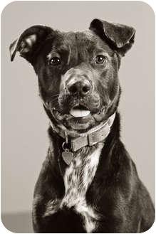 Border Collie/Pointer Mix Dog for adoption in Portland, Oregon - Boomer