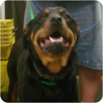 Rottweiler Mix Dog for adoption in Manassas, Virginia - kaya