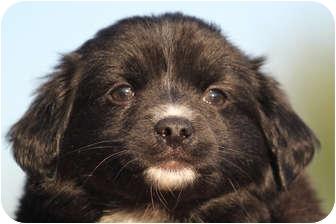 Australian Shepherd Mix Puppy for adoption in McKinney, Texas - Tony Stark AKA Ironman