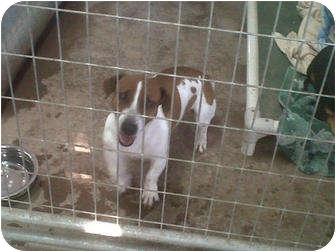 Jack Russell Terrier Dog for adoption in San Antonio, Texas - Kiera in San Antonio