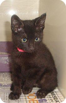 Domestic Mediumhair Kitten for adoption in Kirby, Texas - Ike