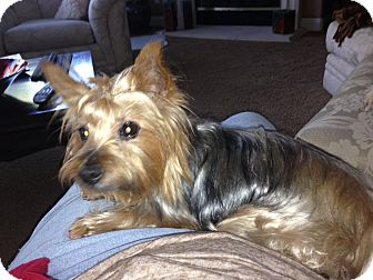Silky Terrier Mix Dog for adoption in Rescue, California - Sophie