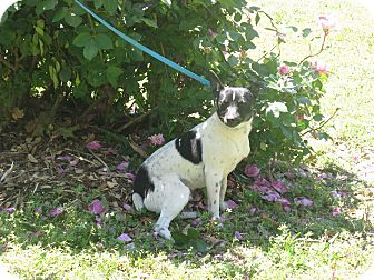 Rat Terrier Mix Dog for adoption in Stilwell, Oklahoma - Squeak
