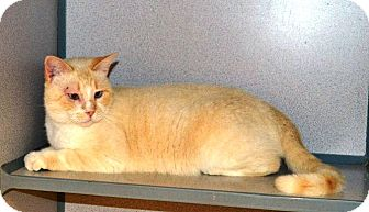 Siamese Cat for adoption in Indianola, Iowa - Sonny
