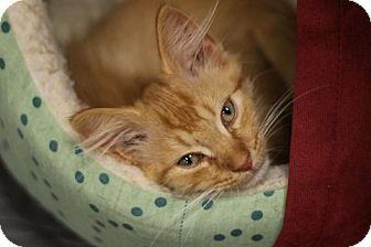 Domestic Mediumhair Kitten for adoption in Alexandria, Virginia - Patrick