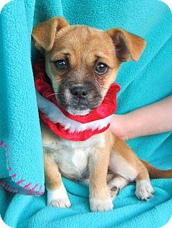 Chihuahua/Pug Mix Puppy for adoption in Kimberton, Pennsylvania - Arabella