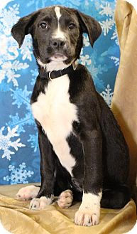 Catahoula Leopard Dog/Retriever (Unknown Type) Mix Puppy for adoption in Westminster, Colorado - Eve