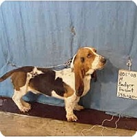 Adopt A Pet :: Badger/Adopted! - Zanesville, OH
