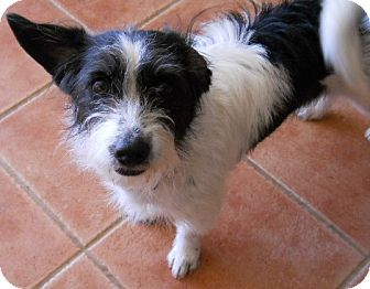 Terrier (Unknown Type, Small) Mix Dog for adoption in dewey, Arizona - Gypsy