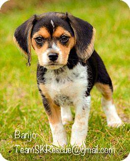 Beagle Mix Puppy for adoption in Aiken, South Carolina - Banjo